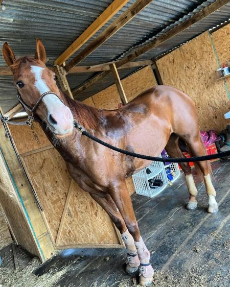 lulu, Quarter Horse Cross Mare for sale in Virginia